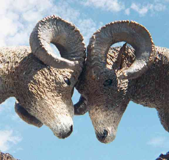 rams butting heads